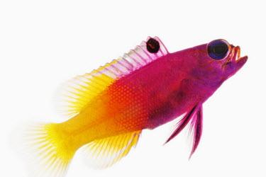 Royal Gramma Fairy Basslet,Royal Gramma,Animalia,Chordata,Actinopterygii,Perciformes,Grammatidae,Gramma loreto,basslet,purple,yellow,fish