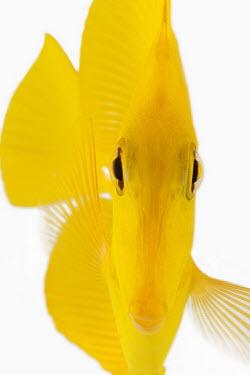 Yellow tang Yellow Tang,Lemon Sailfin,Somber Surgeonfish,Yellow Sailfin Tang,Animalia,Chordata,Actinopterygii,Perciformes,Acanthuridae,Zebrasoma flavescens,tang,fish