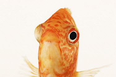 Red discus Heckel discus,Pompadour fish,Pineapple discus,cichlid,fish,Animalia,Chordata,Actinopterygii,Perciformes,Cichlidae,Heroini,Symphysodon,Symphysodon discus,Red discus
