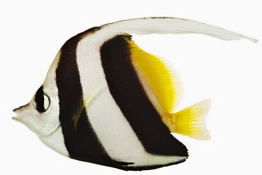 Longfin bannerfish Longfin bannerfish,Heniochus acuminatus,Actinopterygii,Ray-finned Fishes,Chordates,Chordata,Bass and Perches,Perciformes,featherfin coralfish,Chaetodon macrolepidotus,Chaetodon bifasciatus,Chaetodon a