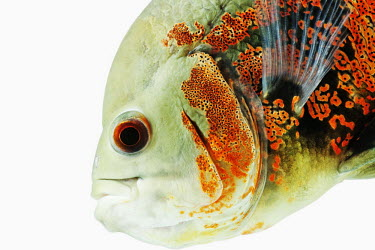 Oscar cichlid,fish,Animalia,Chordata,Actinopterygii,Perciformes,Cichlidae,Astronotus,Astronotus ocellatus,tiger oscar,velvet cichlid,marble cichlid,Oscar