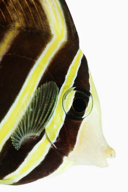 Sailfin tang Sailfin tang,Animalia,Chordata,Actinopterygii,Perciformes,Acanthuridae,Zebrasoma veliferum,Zebrasoma velifer,Sailfin Tang,Desjardin's Sailfin Tang,Eastern Sailfin Tang,Pacific Sail-fin Surgeonfish,Pas