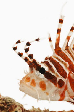 Spotfin lionfish Multi-coloured,multicoloured,multi-colored,colorful,multicolored,colourful,Ocean,oceans,oceanic,Close up,reef,Coral reef,tropics,tropic,reefs,corals,tropical,coral structure,coral,coral reefs,White ba
