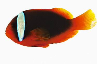 Red saddleback anemonefish Close up,Multi-coloured,multicoloured,multi-colored,colorful,multicolored,colourful,Ocean,oceans,oceanic,tropics,Tropical,reef,Coral reef,tropic,reefs,corals,tropical,coral structure,coral,coral reefs