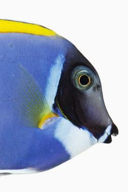 Powder blue tang Powder blue tang,Animalia,Chordata,Actinopterygii,Perciformes,Acanthuridae,Acanthurus leucosternon,Powder Blue Surgeonfish,Blue Surgeonfish,Powderblue Surgeonfish,Powder-blue Tang,Powder Blue Tang
