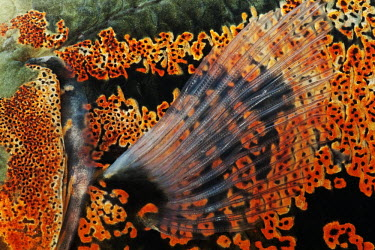 Oscar cichlid,fish,Animalia,Chordata,Actinopterygii,Perciformes,Cichlidae,Astronotus,Astronotus ocellatus,tiger oscar,velvet cichlid,marble cichlid,scales,Oscar
