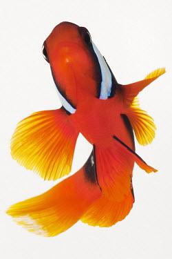 Red saddleback anemonefish Animalia,Chordata,Actinopterygii,Perciformes,Pomacentridae,Amphiprion ephippium,Red saddleback anemonefish,Saddle Anemone,Saddle Anemonefish,Tomato Clownfish
