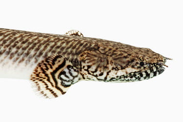Ornate bichir White background,Aquatic,water,water body,saltwater,Marine,saline,Close up,nothing,plain background,nothing in background,Plain,blank background,blank,environment,ecosystem,Habitat,Ornate bichir,Anima