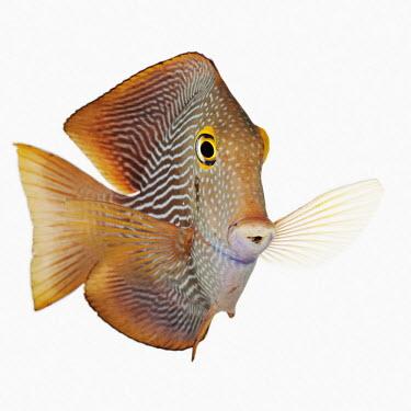 Goldring bristletooth Kole tang,Spotted surgeonfish,Goldring surgeonfish,Yellow-eyed tang,Animalia,Chordata,Actinopterygii,Perciformes,Acanthuridae,Ctenochaetus,Ctenochaetus strigosus,Yellow-eyed Kole tang,Striped bristlet