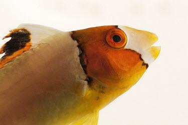 Bicolour parrotfish Animalia,Chordata,Actinopterygii,Perciformes,Labridae,Cetoscarus bicolor,Bicolour Parrotfish,Bumphead Parrotfish,Red-speckled Parrotfish,Two-colored Parrotfish,parrotfish,fish,Bicolour parrotfish