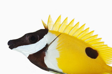 Foxface rabbitfish environment,ecosystem,Habitat,White background,Aquatic,water,water body,tropics,Tropical,Sea,seas,bright colour,bright,Colourful,brightly coloured,colorful,bright colours,Ocean,oceans,oceanic,reef,Cor
