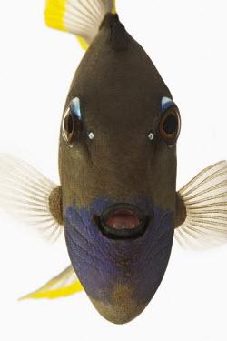 Gilded triggerfish Gilded triggerfish,Animalia,Chordata,Actinopterygii,Tetraodontiformes,Balistidae,Xanthichthys auromarginatus,fish,triggerfish
