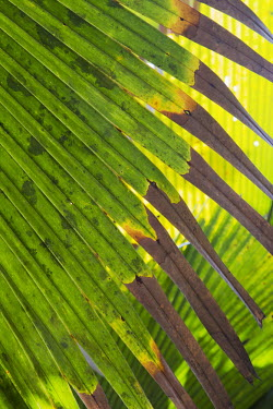 The Coco de Mer palm - Seychelles Endemism,Endemic,reserve,conservation area,Protected area,Habitat loss,Land management,tropical,Tropical rainforest,tropics,tropic,jungles,jungle,leaf,leafy,Leafy background,leaves,Habitat protection,