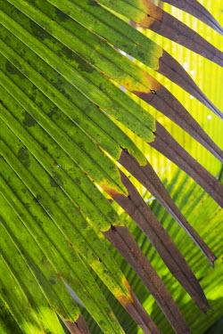 The Coco de Mer palm - Seychelles Endemism,Endemic,reserve,conservation area,Protected area,Habitat loss,Land management,tropical,Tropical rainforest,tropics,tropic,jungles,jungle,leaf,leafy,Leafy background,leaves,Habitat protection,