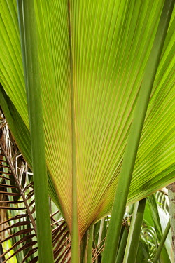 The Coco de Mer palm - Seychelles Leaf,leafs,leaves,tropics,Tropical,rain forest,tropical rainforest,tropical forest,jungle,Rainforest,jungles,Land management,forests,Forest,environment,ecosystem,Habitat,Habitat protection,Terrestrial