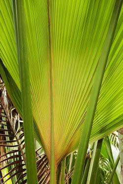 The Coco de Mer palm - Seychelles Leaf,leafs,leaves,tropics,Tropical,rain forest,tropical rainforest,tropical forest,jungle,Rainforest,jungles,Land management,forests,Forest,environment,ecosystem,Habitat,Habitat protection,Terrestrial