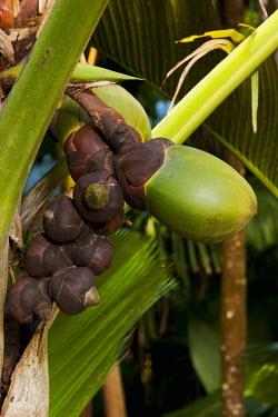 Coco de Mer palm seeds - Seychelles Coco-de-mer,Lodoicea maldivica,Monocots,Liliopsida,Arecales,Coco de mer,maldivica,Africa,Palmae,Terrestrial,Endangered,Tracheophyta,Lodoicea,Plantae,Rainforest,Photosynthetic,IUCN Red List