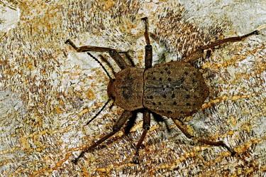Giant tenebrionid beetle - Fregate Island, Seychelles Giant tenebrionid beetle,Frigate Island Giant Tenebrionid Beetle,Fregate Island Giant Tenebrionid Beetle,beetle,beetles,insect,insects,Animalia,Arthropoda,Insecta,Coleoptera,Tenebrionidae,Polposipus h