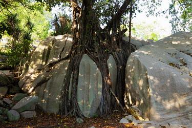 Banyan tree AKA strangler fig - Cousine, Seychelles Terrestrial,ground,Greenery,foliage,vegetation,tree roots,Root,Roots,plant root,plant roots,tree root,environment,ecosystem,Habitat,tropical,Tropical rainforest,tropics,tropic,jungles,jungle,branch,Tr