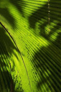 The Coco de Mer palm - Seychelles Coco-de-mer,Lodoicea maldivica,Monocots,Liliopsida,Arecales,Coco de mer,maldivica,Africa,Palmae,Terrestrial,Endangered,Tracheophyta,Lodoicea,Plantae,Rainforest,Photosynthetic,IUCN Red List