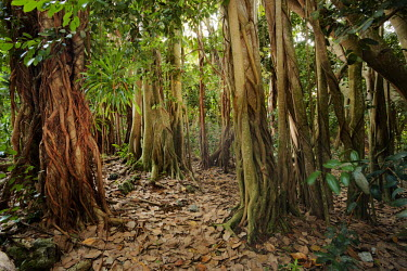 Banyan tree AKA strangler fig engulfing other tree species- Cousine, Seychelles tropics,Tropical,Greenery,foliage,vegetation,forests,Forest,parasite,Parasitic,parasitoid,parasitism,environment,ecosystem,Habitat,tree roots,Root,Roots,plant root,plant roots,tree root,Terrestrial,gr