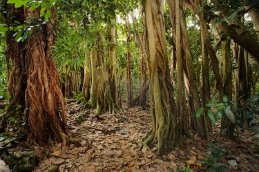 Banyan tree AKA strangler fig engulfing other tree species- Cousine, Seychelles tropics,Tropical,Greenery,foliage,vegetation,forests,Forest,parasite,Parasitic,parasitoid,parasitism,environment,ecosystem,Habitat,tree roots,Root,Roots,plant root,plant roots,tree root,Terrestrial,gr