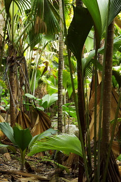 Valle'e De Mai World Heritage site on Praslin - Seychelles tropical,Tropical rainforest,tropics,tropic,jungles,jungle,Habitat loss,reserve,conservation area,Protected area,Terrestrial,ground,Tropical,Habitat protection,Greenery,foliage,vegetation,forests,Fore