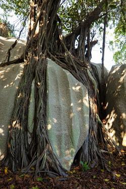 Banyan tree AKA strangler fig - Cousine, Seychelles branch,Tree,bark,branches,Greenery,foliage,vegetation,tropical,Tropical rainforest,tropics,tropic,jungles,jungle,Tropical,parasite,Parasitic,parasitoid,parasitism,tree roots,Root,Roots,plant root,plan