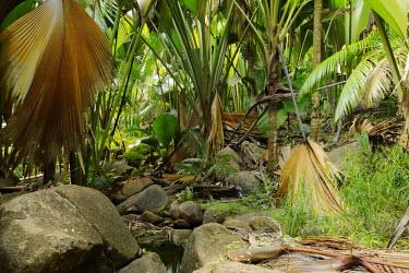 Valle'e De Mai World Heritage site on Praslin - Seychelles national park,Coco-de-mer,Lodoicea maldivica,Monocots,Liliopsida,Arecales,Coco de mer,maldivica,Africa,Palmae,Terrestrial,Endangered,Tracheophyta,Lodoicea,Plantae,Rainforest,Photosynthetic,IUCN Red Li