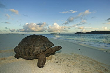 Aldabra giant tortoise on the beach - Seychelles tropics,Tropical,Aquatic,water,water body,exoskeleton,Carapace,shell,environment,ecosystem,Habitat,coast,Coastal,coast line,coastline,beaches,Beach,beach,Beach background,tortoise,reptile,Aldabra gian
