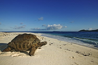 Aldabra giant tortoise on the beach - Seychelles beach,Beach background,exoskeleton,Carapace,shell,tropics,Tropical,Aquatic,water,water body,beaches,Beach,environment,ecosystem,Habitat,coast,Coastal,coast line,coastline,tortoise,reptile,Aldabra gian