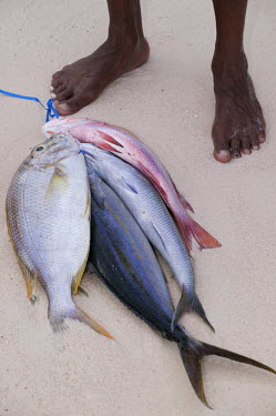 Fisherman with his catch of the day, snapper fish - Seychelles snapper,fish,red snapper,yellow fin red snapper,silver fish,catch,fisherman,fishing,beach,coast,coastal,food,livlihood