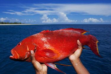 Fisherman with a yellow-edged lyretail grouper - Seychelles grouper,lyretail grouper,yellow-edged lyretail grouper,catch,fisherman,fishing,beach,coast,coastal,food,livlihood,Animalia,Chordata,Actinopterygii,Perciformes,Epinephelidae,Variola louti