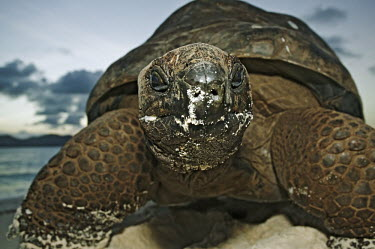 Aldabra giant tortoise on the beach - Seychelles shell,Aquatic,water,water body,environment,ecosystem,Habitat,beach,Beach background,Carapace,exoskeleton,beaches,Beach,coast,Coastal,coast line,coastline,tropics,Tropical,tortoise,reptile,Aldabra gian