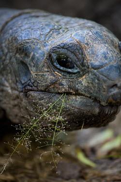 Close up of an Aldabra giant tortoise - Seychelles tortoise,reptile,Aldabra giant tortoise,Geochelone gigantea,Chordates,Chordata,Reptilia,Reptiles,Tortoises,Testudinidae,Turtles,Testudines,Tortue G�ante,Tortue G�ante D'Aldabra,Tortuga Gigante De Alda
