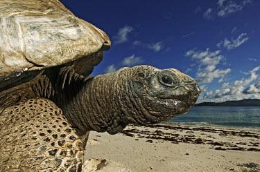 Aldabra giant tortoise on the beach - Seychelles tortoise,reptile,Aldabra giant tortoise,Geochelone gigantea,Chordates,Chordata,Reptilia,Reptiles,Tortoises,Testudinidae,Turtles,Testudines,Tortue G�ante,Tortue G�ante D'Aldabra,Tortuga Gigante De Alda
