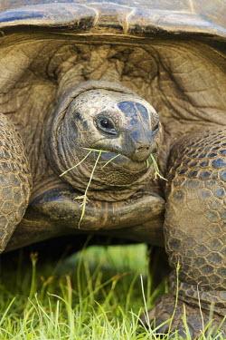 Aldabra giant tortoise eating grass - Seychelles food,feed,hungry,eat,hunger,Feeding,eating,Close up,tortoise,reptile,Aldabra giant tortoise,Geochelone gigantea,Chordates,Chordata,Reptilia,Reptiles,Tortoises,Testudinidae,Turtles,Testudines,Tortue G�