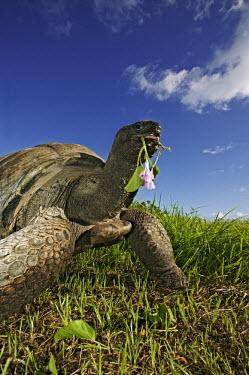 Aldabra giant tortoise eating mangrove - Seychelles tortoise,reptile,Aldabra giant tortoise,Geochelone gigantea,Chordates,Chordata,Reptilia,Reptiles,Tortoises,Testudinidae,Turtles,Testudines,Tortue G�ante,Tortue G�ante D'Aldabra,Tortuga Gigante De Alda