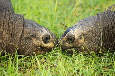 A pair of Aldabra giant tortoises - Seychelles tortoise,reptile,Aldabra giant tortoise,Geochelone gigantea,Chordates,Chordata,Reptilia,Reptiles,Tortoises,Testudinidae,Turtles,Testudines,Tortue G�ante,Tortue G�ante D'Aldabra,Tortuga Gigante De Alda