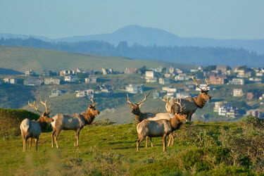 Tule elk are a North American elk subspecies native to California naturally occurring,Native,herds,gamming,Herd,herding,assemble,environment,ecosystem,Habitat,Urbanisation,food,feed,hungry,eat,hunger,Feeding,eating,gathering,Group,many,collection,numerous,grouping,c