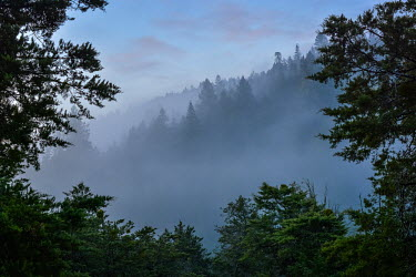 A foggy view through an evergreen forest in North America forest,woodland,habitat,mist,fog,cloud,evergreen,pine