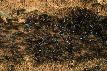 A predatory ant forming colonies of up to 20 million - Central African Republic Colonisation,Colony,Colonial,Close up,Macro,macrophotography,action,movement,move,Moving,in action,in motion,motion,Driver ants,Dorylus spp.