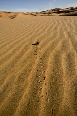 Desert beetle and tracks along sanddune, rear view - Namib Desert, Namibia, Africa Desert beetle,Tenebrionid spp.