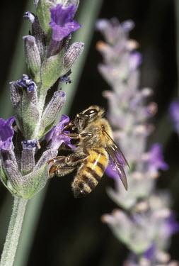 African honey bee foraging for pollen - Africa African honey bee,Apis mellifera adansonii