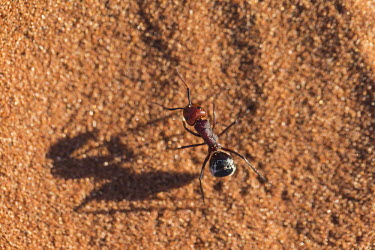 Driver ants walking over sand, dorsal view - Africa Driver ants,Dorylus spp.