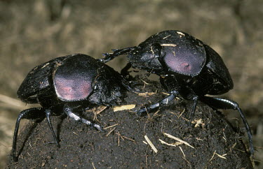 Dung beetle pair rolling a ball of dug - Africa Dung beetle,Scarabaeus,Coleoptera,Beetles,Insects,Insecta,Arthropoda,Arthropods,Scarabaeidae,Scarab Beetles,Saprophytic,Asia,Africa,Terrestrial,Animalia