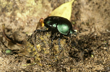 Dung beetle rolling a ball of dug with flies hovering around - Africa Dung beetle,Scarabaeus,Coleoptera,Beetles,Insects,Insecta,Arthropoda,Arthropods,Scarabaeidae,Scarab Beetles,Saprophytic,Asia,Africa,Terrestrial,Animalia