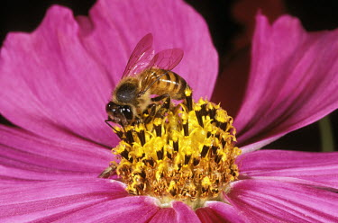 African honey bee foraging for pollen on a cosmos blossom - Africa African honey bee,Apis mellifera adansonii