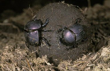 Dung beetle pair rolling a ball of dug - Africa Building,metallic,Close up,Faeces,waste,stool,poo,faecal matter,feces,manure,dung,faecal,stools,excrement,droppings,scat,colours,color,colors,Colour,action,movement,move,Moving,in action,in motion,mot