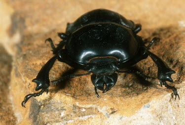 Stag beetle on rock, front view - South Africa Cape stag beetle,Colophon spp.,Lucanidae,Stag Beetles,Insects,Insecta,Arthropoda,Arthropods,Coleoptera,Beetles,Animalia,Critically Endangered,Africa,Colophon,Vulnerable,Mountains,Endangered,Near Threa